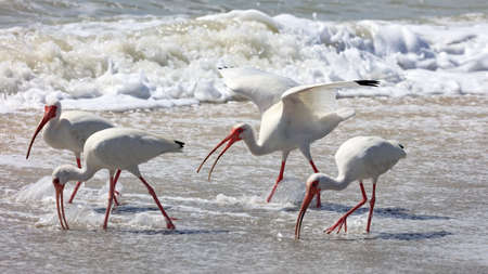 Group white ibises (Eudocimus albus) on the shore, looking for craps, in the background a wave, Sanibel Island, Florida, USA Stock Photo