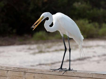 Great egret (Ardea alba) catching a littel fish, Sanibel Island, Florida, USA