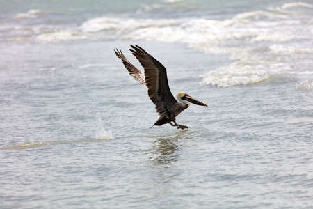 Pelican starts to fly, Sanibel Iceland, Florida, USA