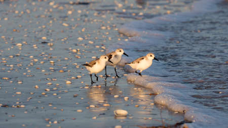 myers: Three snowy plovers (Charadrius nivosus) wading in shallow water, Sanibel Island, Florida, USA