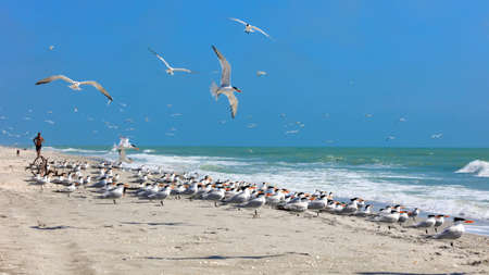 Flock of royal terns on an typical beach on Sanibel Island, Florida, USA