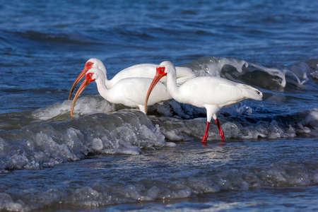 Three white ibises (Eudocimus albus) on the shore, Sanibel Island, Florida, USA