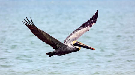 wingspan: Pelican flying over water, from site, Sanibel Island, Florida, USA