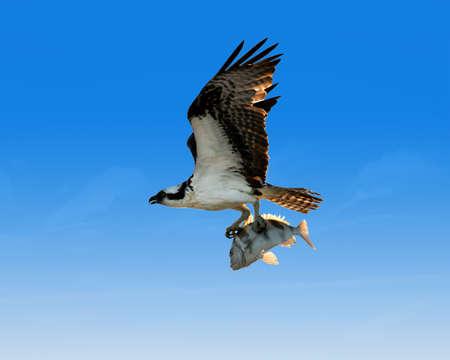 Osprey with fish, background blue, Sanibel Island, Florida, USA