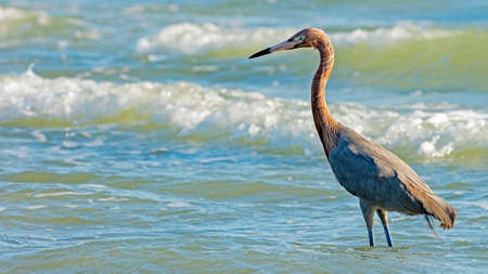 swoop: Tricolored Heron, Egretta tricolor, standing in water and looking for fish. Stock Photo