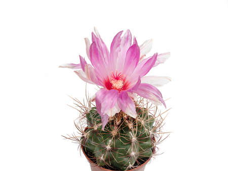 Thelocactus wagnerianus blooms in pink against white background, isolated Stock Photo