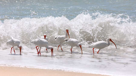 Flock of ibises (Eudocimus albus) on the beach of Sanibel Island, Florida, USA Stock Photo