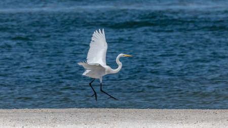 Great egret (Ardea alba) dancing in the air on the beach, Sanibel Island, Florida, USA
