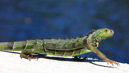 Green iguana on a top of the wall, portrait, water in the background, Sanibel Island, Florida, USA Stock Photo