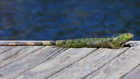 Green iguana resting on the pier, water in the background, Sanibel Island, Florida, USA