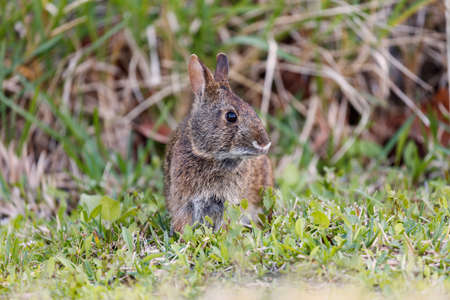 Marsh rabbit from the front on the grass, Florida, USA