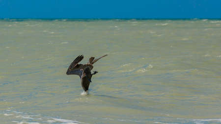Pelican diving into the water, Florida, USA