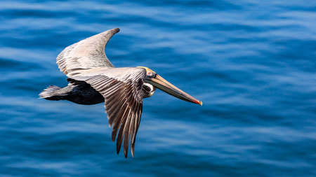 Pelican fllies over the water, Sanibel Island, Florida, USA