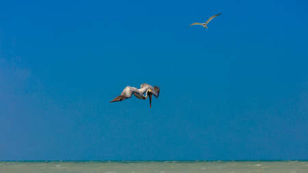 Pelican short befor diving into the water, Florida, USA
