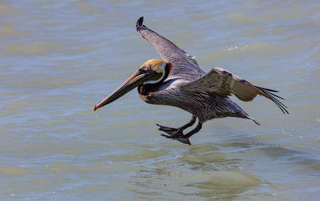 Pelican, male, landing on water, Sanibel Island, Florida, USA