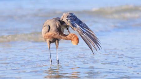 Tricolored heron, Egretta tricolor, standing in water and clean yourself, Sanibel Island, Florida, USA Stock Photo