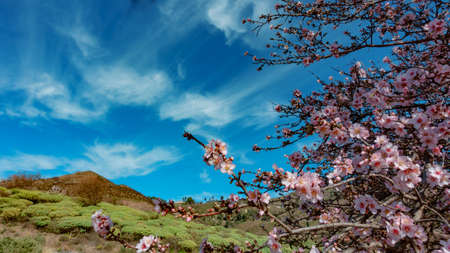 Blooming almond tree in the foreground, bushes and hills in the background, over all a beautiful sky, Canary Islands, Spain