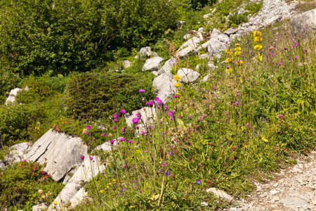 Wild flowers in the mountains of Swiss Alps, Switzerland