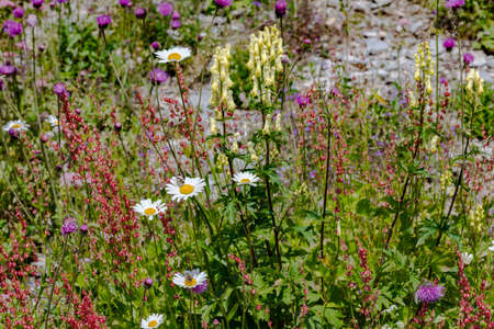 Wild flower meadow, margaritas, red clover, mountain cornflower, aster, daisy, composite, yellow aconite, yellow monks-hood, in the Swiss Alps, Switzerland Stockfoto