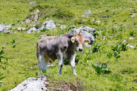 Calf on a flowery meadow, looking to you, Swiss Alps, Switzerland