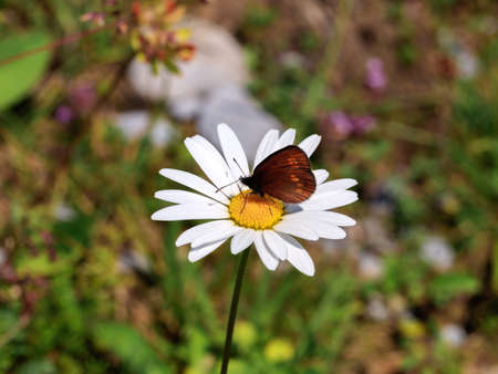 Butterfly on margarita blossomed, meadow in the Swiss Apls