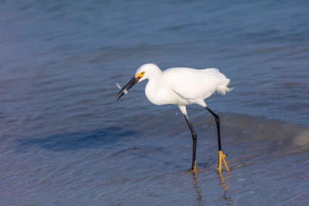Snowy Egret (Egretta thula) is standing in the water and caught a fish, Sanibel Island, Florida, USA