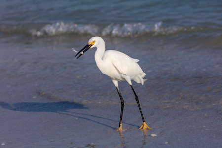 Snowy Egret (Egretta thula) is standing on the beach and caught a fish, Sanibel Island, Florida, USA