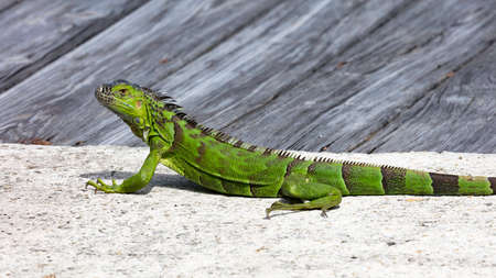 Iguana lying stretched out seen from the side, Florida, USA