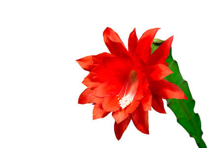 Epiphyllum with red bloosom against white wall