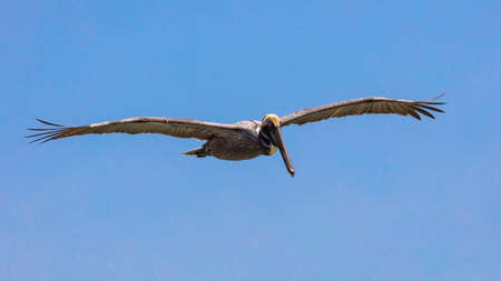 Pelican in perfect glide against blue sky, Florida, USA