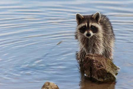 A cute raccoon staring at you from behind a rock in the lake.