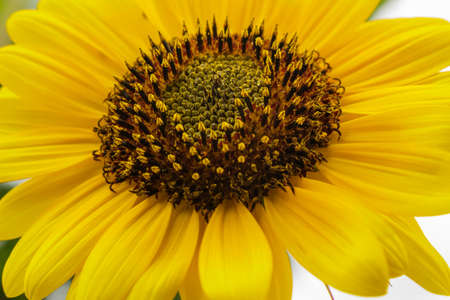 Close up of bright yellow sunflower with stamen and pistil, growing. Reklamní fotografie