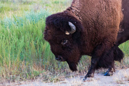An American Bison walking close by on the prairie. Foto de archivo