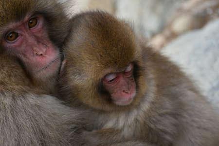 Big Giant goriila monkey with his baby monkey in the zoo 免版税图像