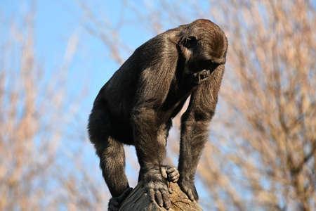 Big Giant goriila monkey in the zoo