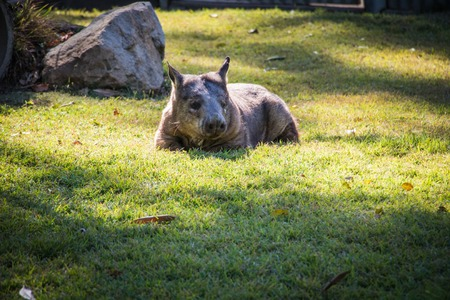 Lazy wombat lounging in the grass Stock Photo