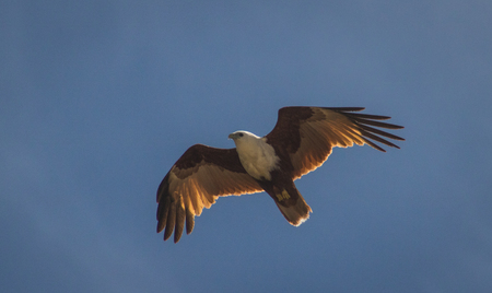 brahminy kite floating gracefully on the wind against wispy clounds