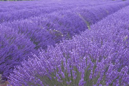 Lavander fields in Heacham in Great Britain