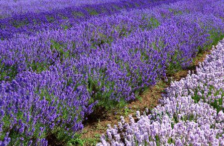 Lavander fields in Heacham in Great Britain photo