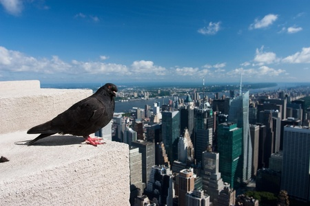 Pigeon on the Empire State Building Stock Photo - 11356862