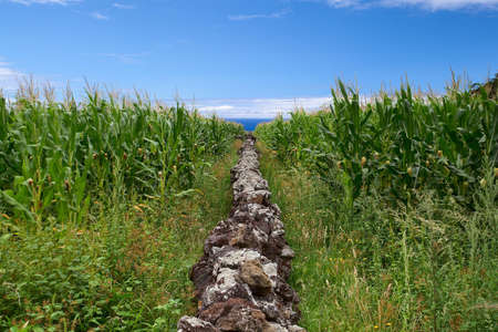 agriculture azores: Lava stone wall in corn field by the sea. Azores, Portugal