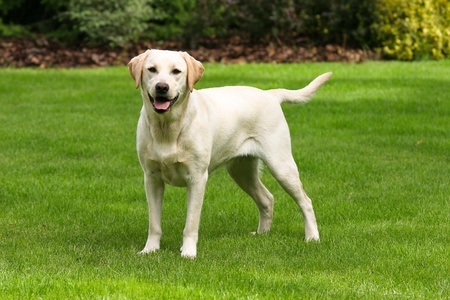 Yellow labrador retriever on green grass lawn Фото со стока