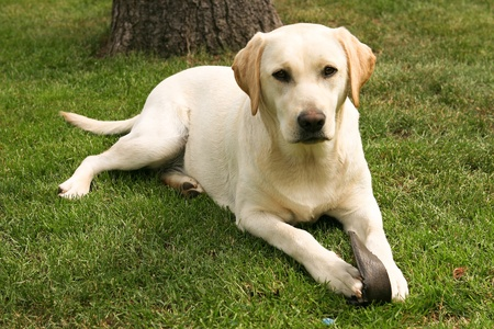 Yellow labrador retriever on green grass lawn photo