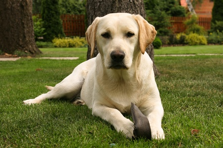 Yellow labrador retriever on green grass lawn Stock Photo