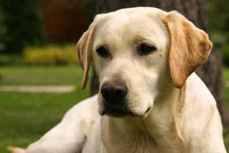 Yellow labrador retriever on green grass lawn 免版税图像