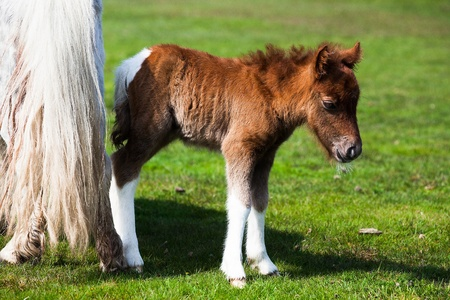 The young pony in New Forest National Park Stock Photo