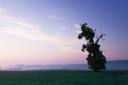 memorable: Memorable oak in the morning mist