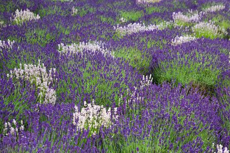Lavander field in Yorkshire in Great Britain