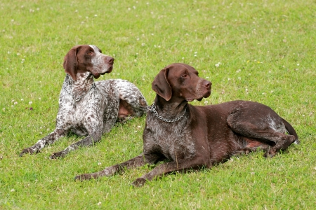 Two hunting setters Stock Photo