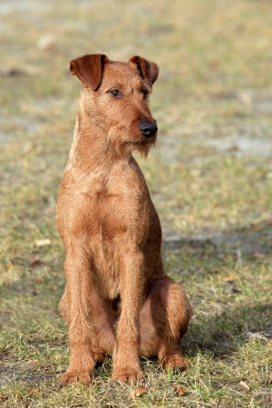 Irish Terrier on the green grass lawn